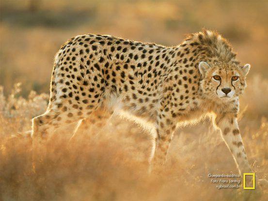 25 felinos raros caracteristicas desses animais exoticos 5
