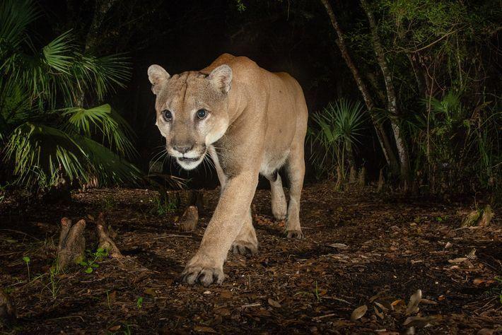 25 felinos raros caracteristicas desses animais exoticos 6