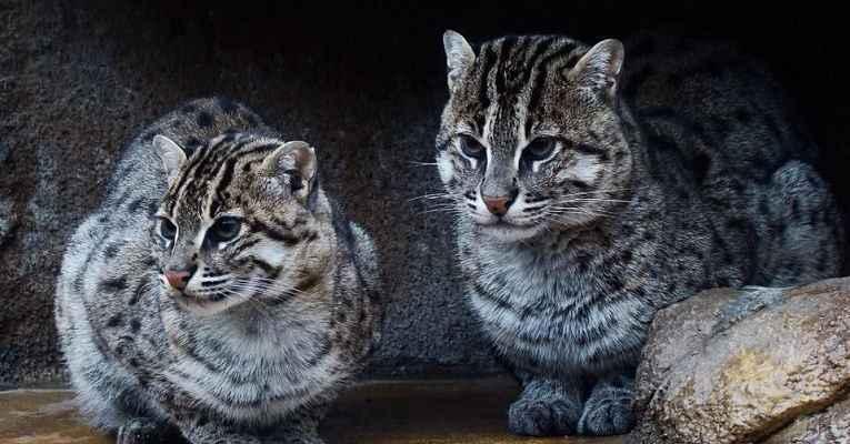 25 felinos raros caracteristicas desses animais exoticos 8