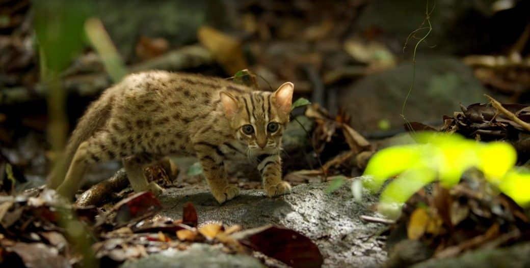 25 felinos raros caracteristicas desses animais exoticos 9