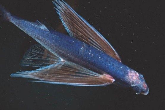 peixe mais rapido do mundo qual e caracteristicas e outros peixes rapidos 2