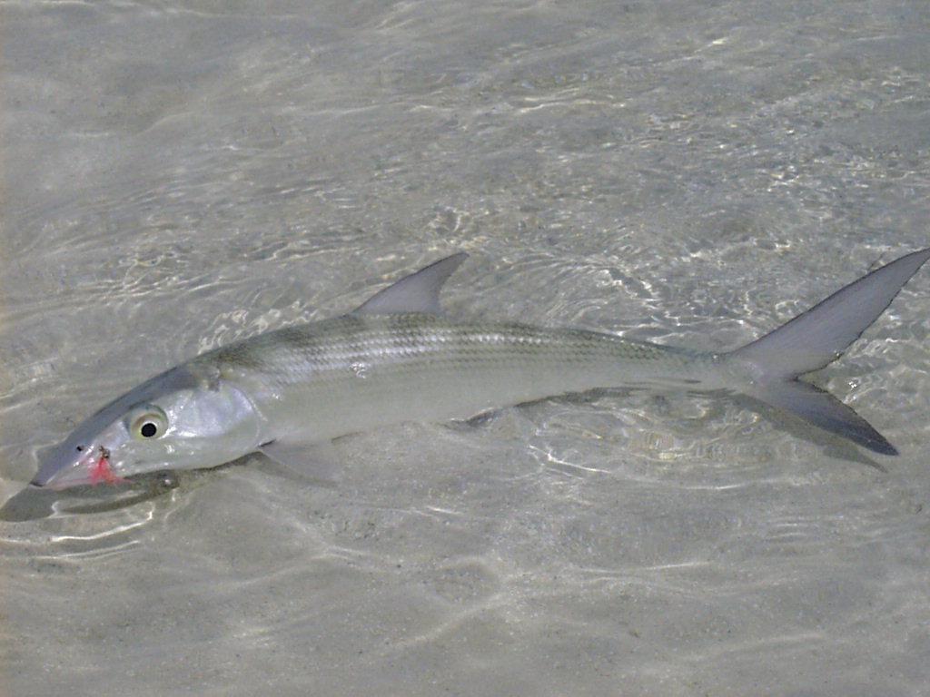peixe mais rapido do mundo qual e caracteristicas e outros peixes rapidos 3