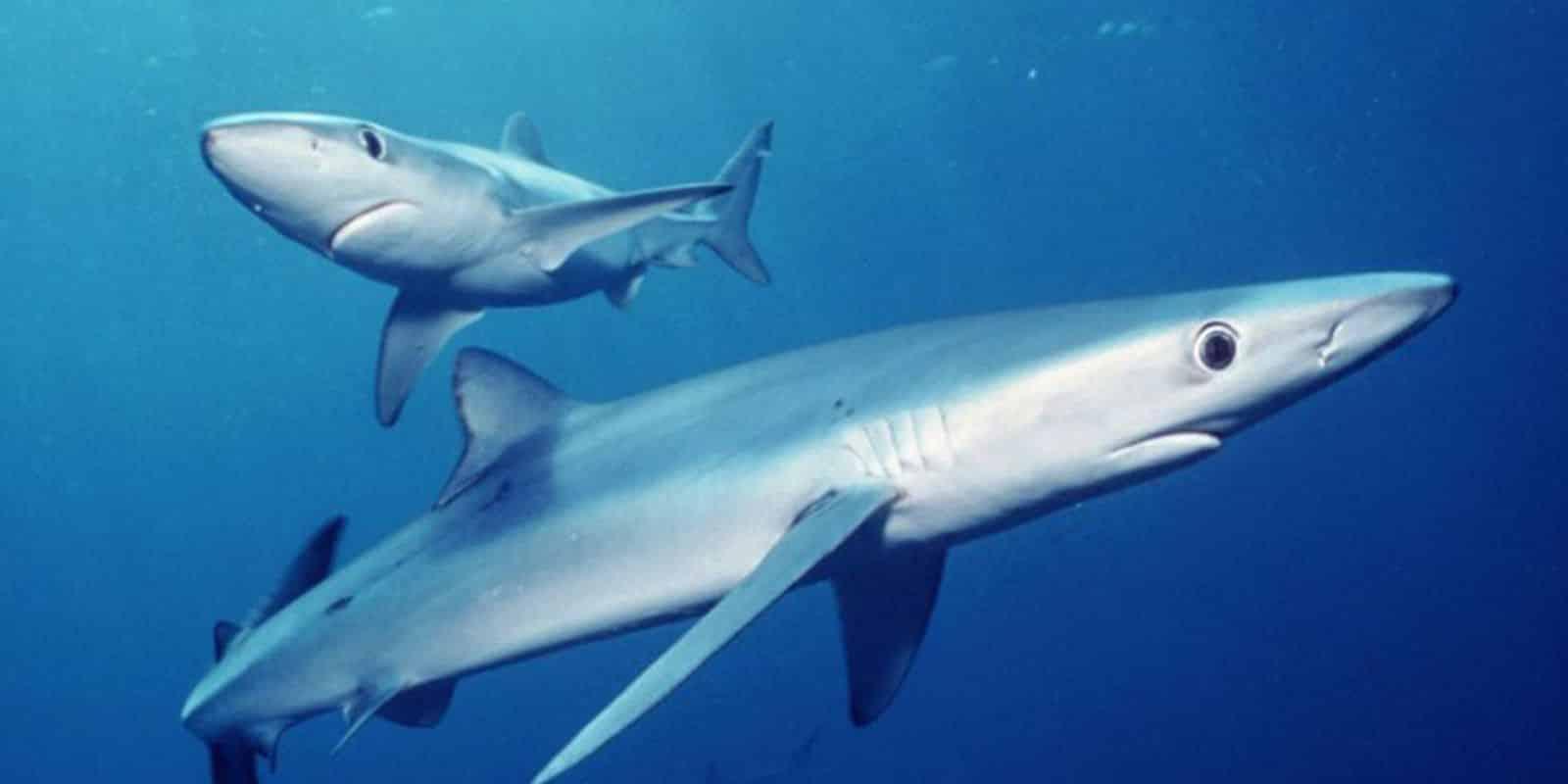 peixe mais rapido do mundo qual e caracteristicas e outros peixes rapidos 4