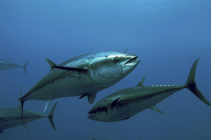 peixe mais rapido do mundo qual e caracteristicas e outros peixes rapidos 5