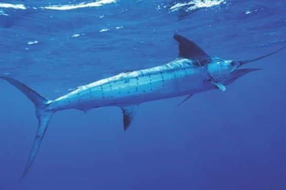 peixe mais rapido do mundo qual e lista de outros peixes rapidos 1