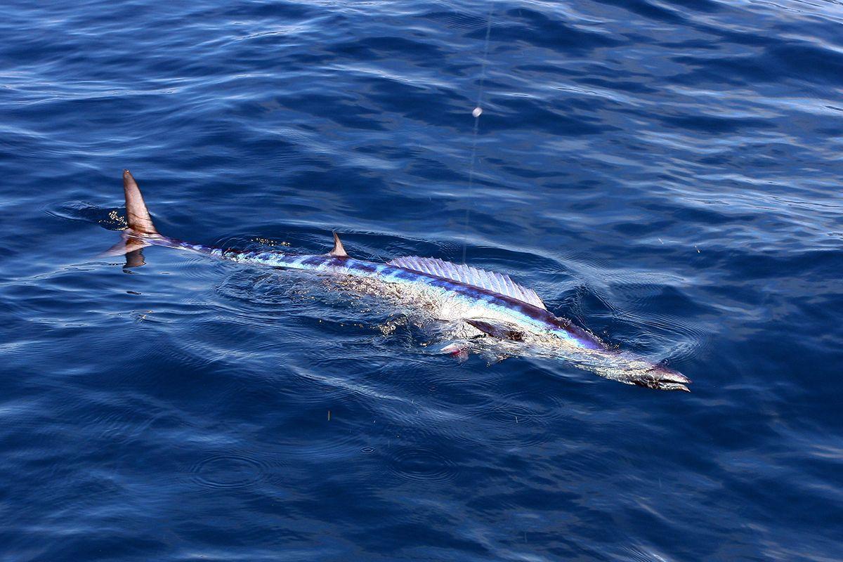 peixe mais rapido do mundo qual e lista de outros peixes rapidos
