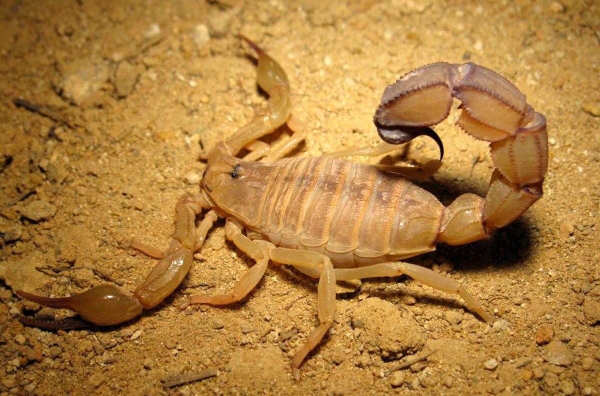 Picada de escorpião - O que fazer, o que não fazer e como evitar