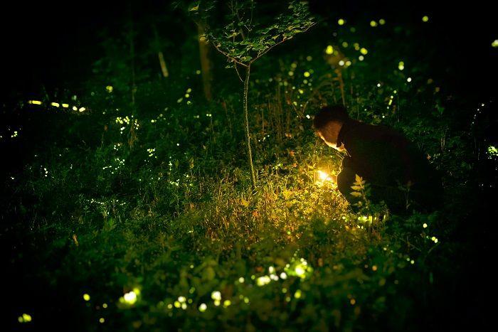 insetos bioluminescentes