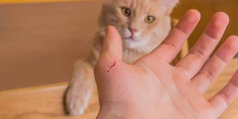 Doença da arranhadura do gato – Causas, sintomas e tratamento