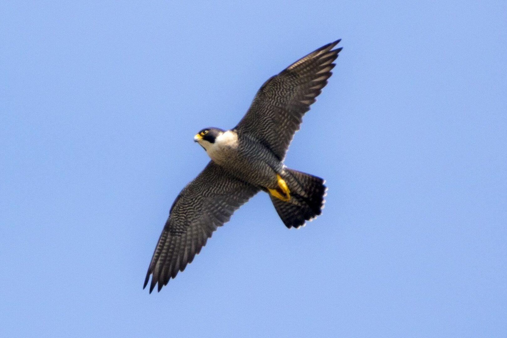 Falcão-peregrino - características e hábitos das espécie andarilha
