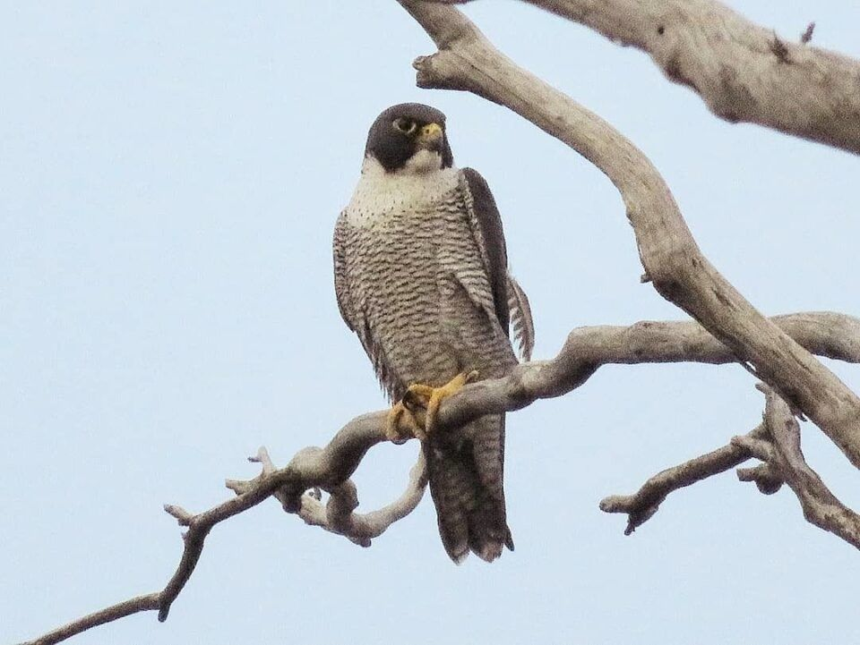 Falcão-peregrino – Características e hábitos da espécie andarilha