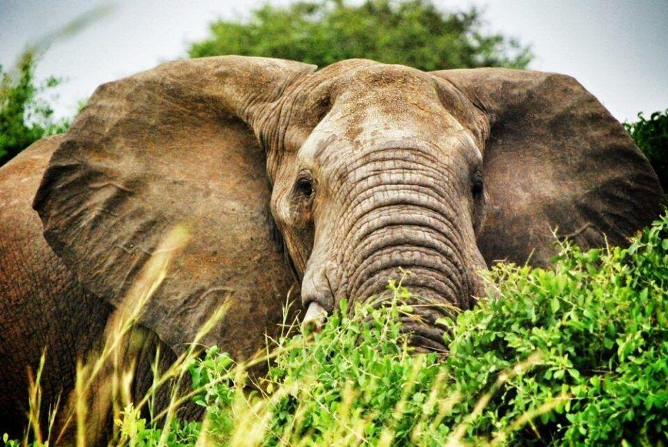 Memória de elefante – Curiosidades e origem da expressão