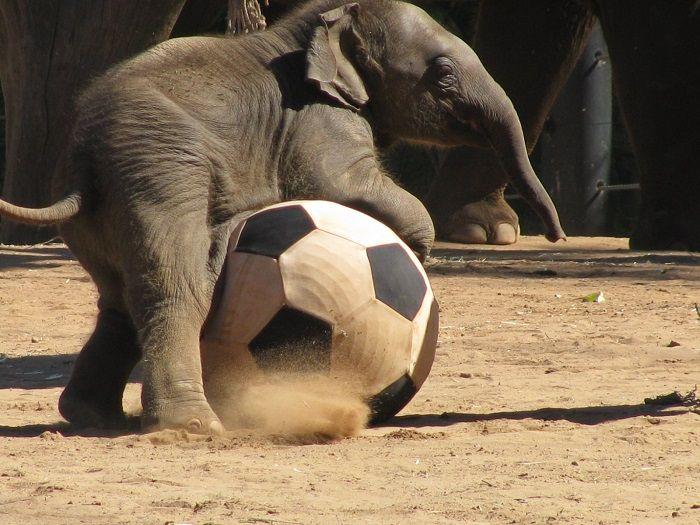 Memória de elefante: curiosidades e origem da expressão