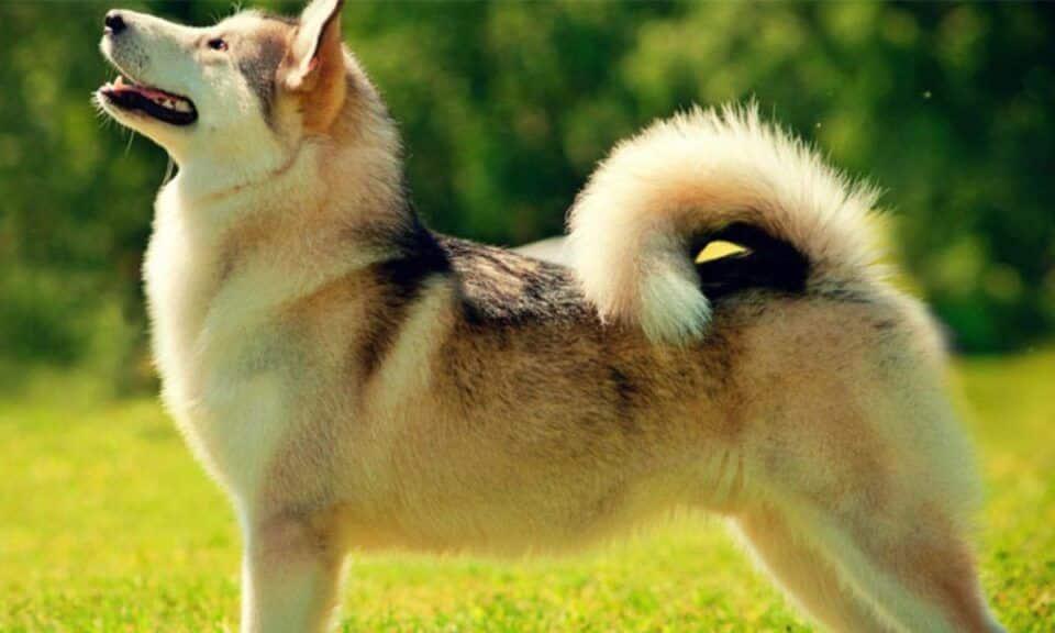 Rabo de cachorro – Para que serve e qual sua importância para o cão