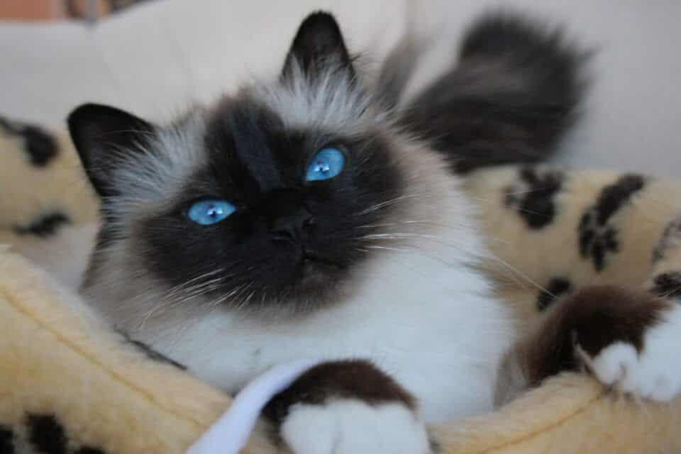 Raças de gato – As mais populares do Brasil e do mundo