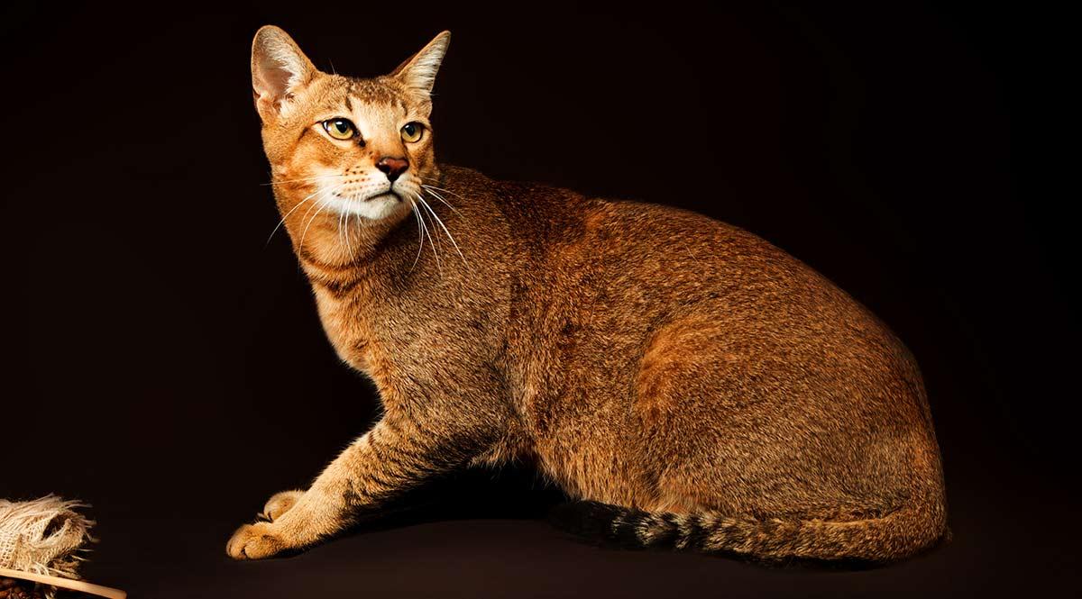 Raças de gato – Conheça as mais populares do Brasil e no restante do mundo