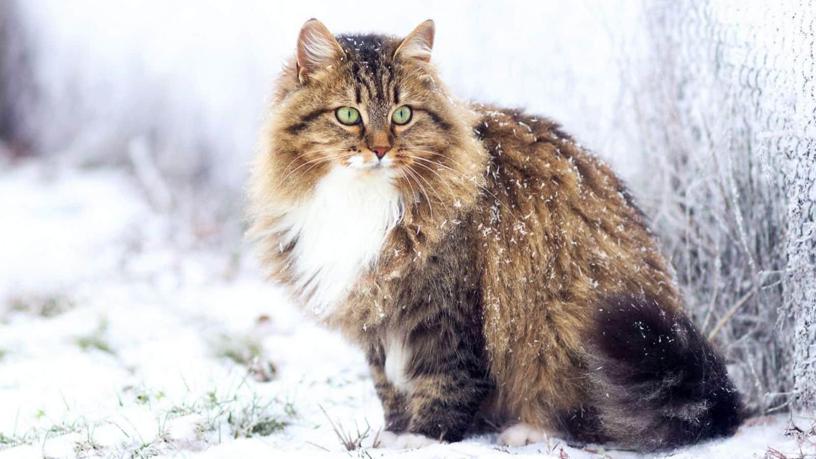Raças de gato – Conheça as mais populares do Brasil e no restante do mund