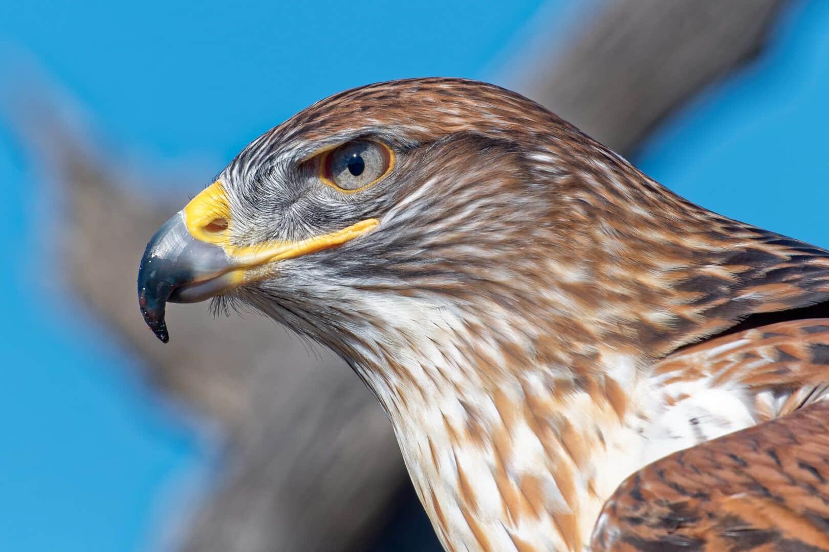Aves de rapina - o que são, principais características e espécies do grupo