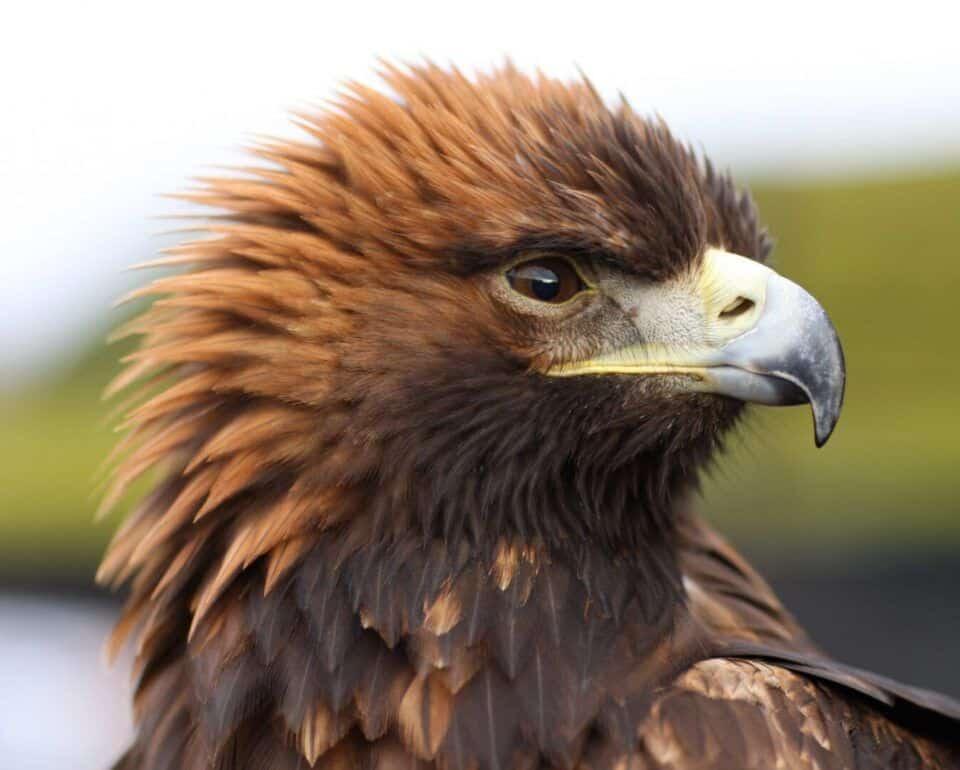 Aves de rapina – Principais características e espécies do grupo