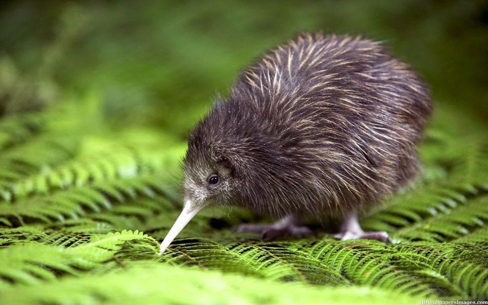 Aves que não voam - características e habilidades das espécies ratitas
