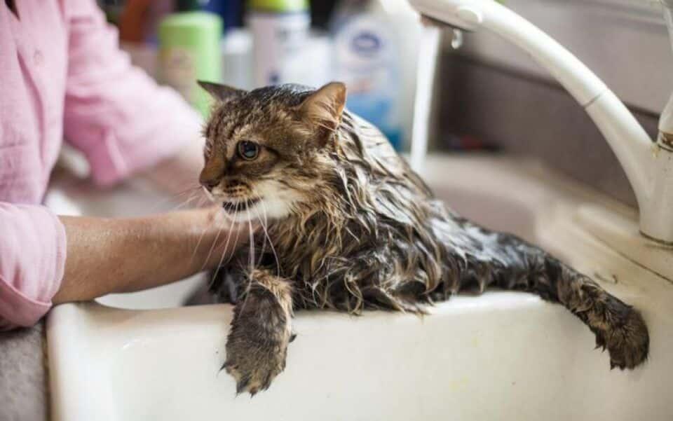 Banho em gato, realmente precisa? Quando é necessário e como fazer