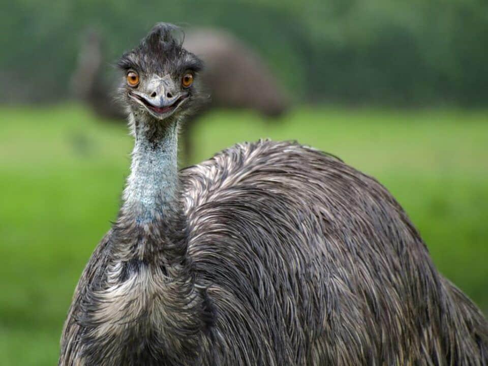 Emu – Hábitos, habitat natural e importância para o ecossistema