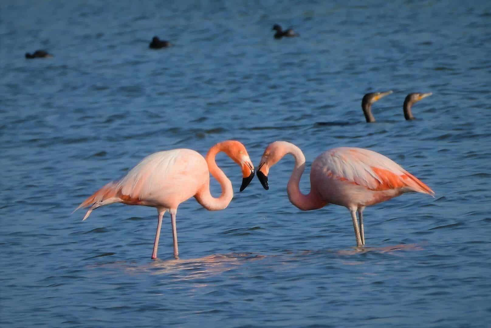 Flamingos - principais características e comportamentos da ave rosada