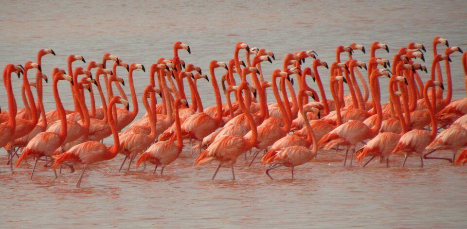 Flamingos – Principais características e comportamentos da ave rosada
