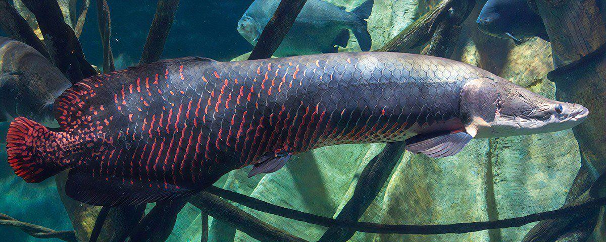 lenda do pirarucu origem e historia do peixe que faz parte da tradicao amazonense 4