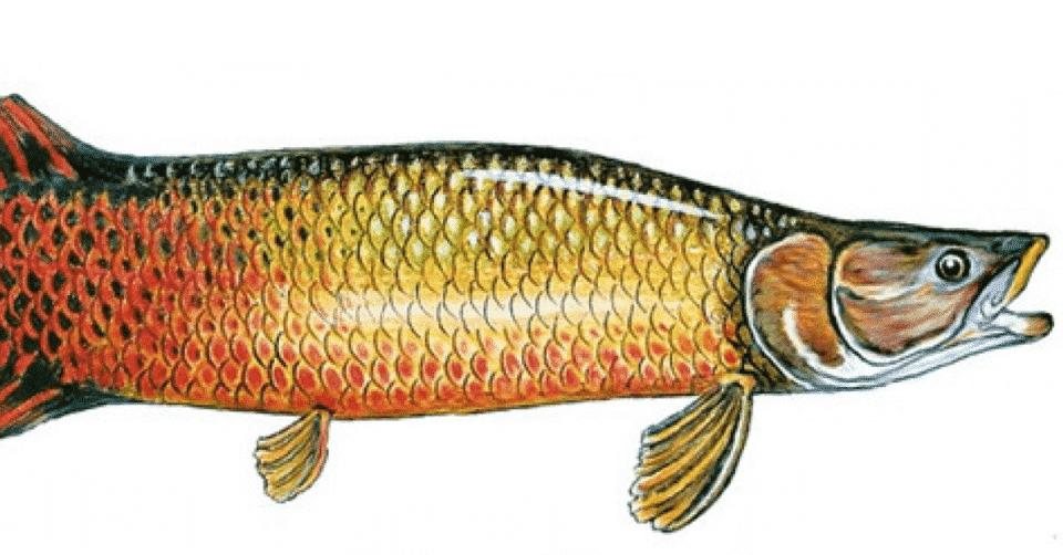 Lenda do pirarucu – Origem e história do peixe tradicional da Amazônia