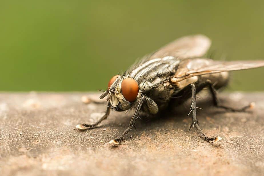 Moscas – Características, principais espécies e como eliminar infestações