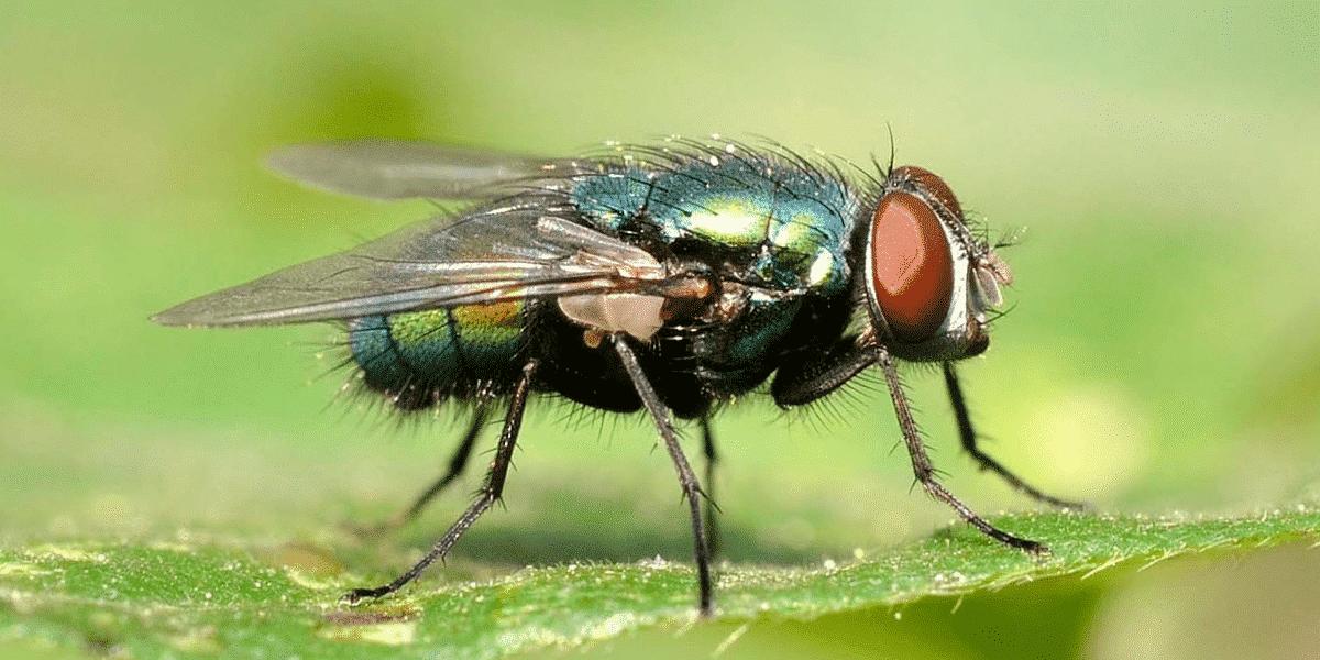 Moscas - características, principais espécies e como eliminar infestações