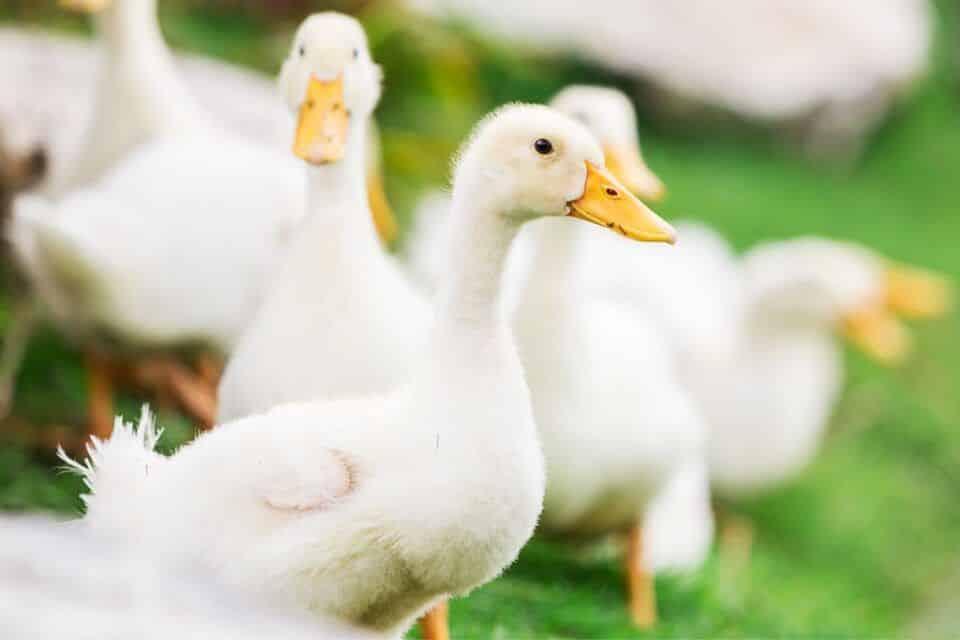 Patos – Características, costumes e curiosidades dessa ave