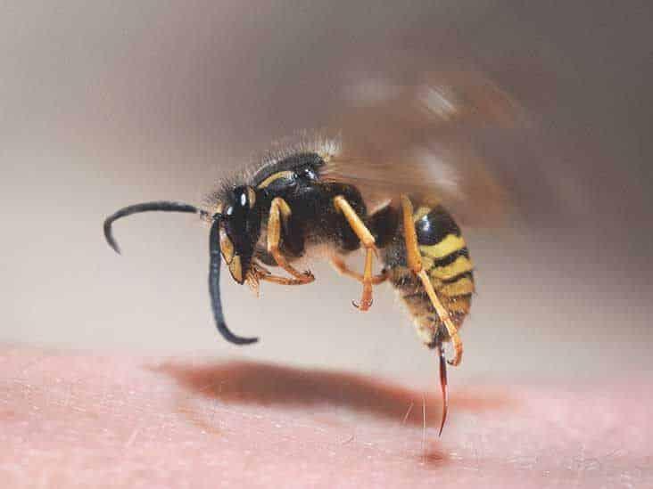 Picada de abelha – Sintomas, riscos e o que fazer quando acontecer