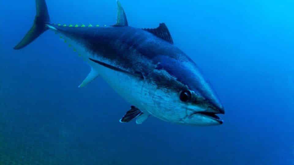 Atum azul – Características do peixe gigante do Oceano Atlântico