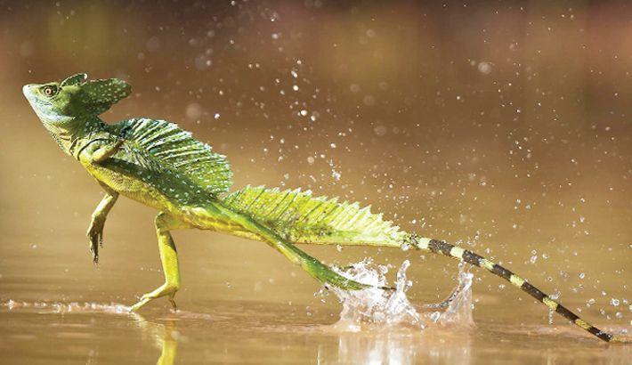 Basilisco - origem do animal na mitologia e no mundo animal da vida real