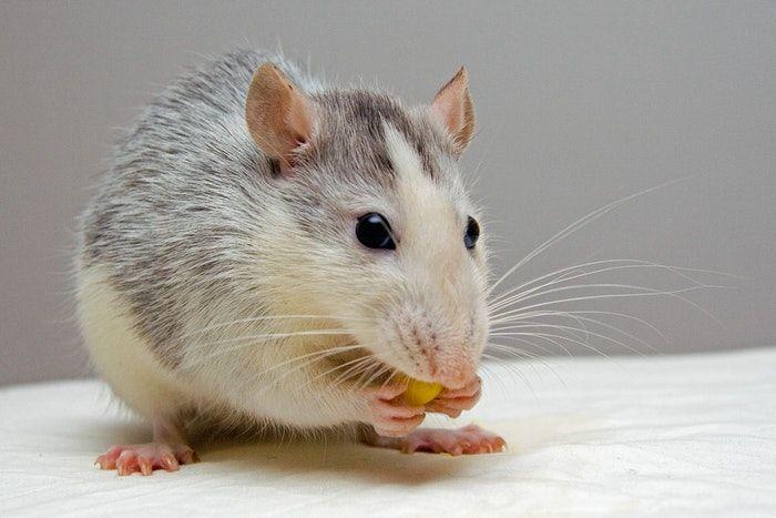 comida para hamster confira os alimentos indicados e proibidos para eles 1
