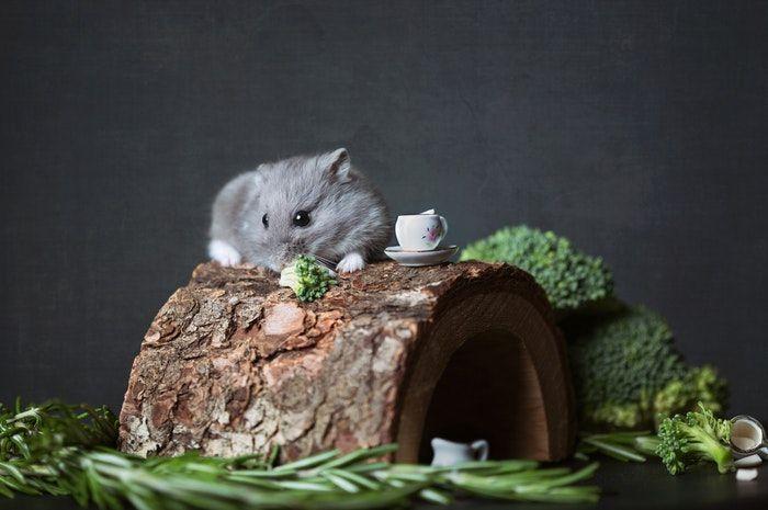 comida para hamster confira os alimentos indicados e proibidos para eles 2