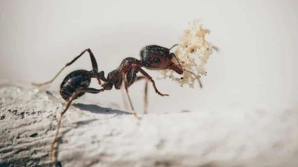 Como acabar com formigas? 12 truques naturais e prevenção
