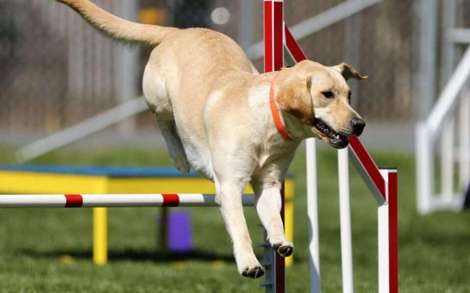 Como adestrar cachorro em casa? Truques para ensinar aos pets