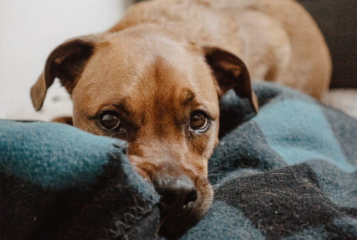 Doenças de cachorros - 11 condições de saúde mais comum nos animais