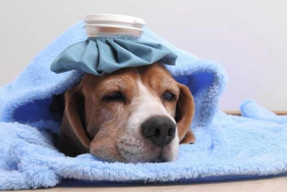 Doenças de cachorros – 11 condições mais comuns nos cães