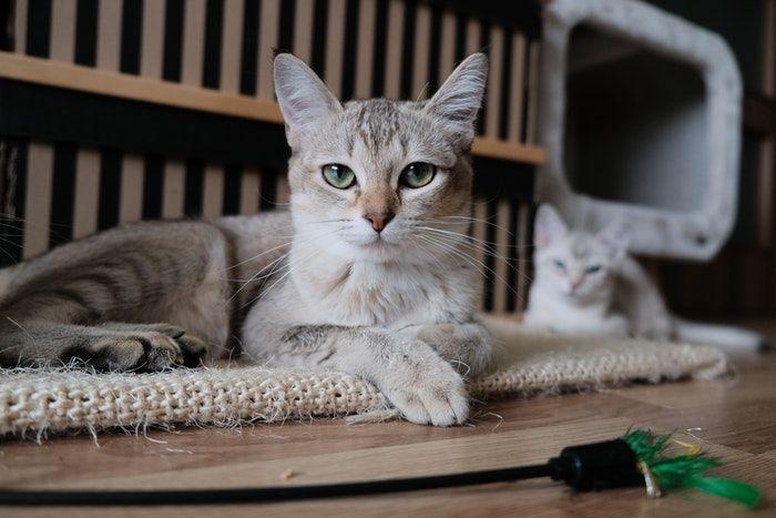 doencas de gatos conheca as mais comuns e saiba como preveni las 4