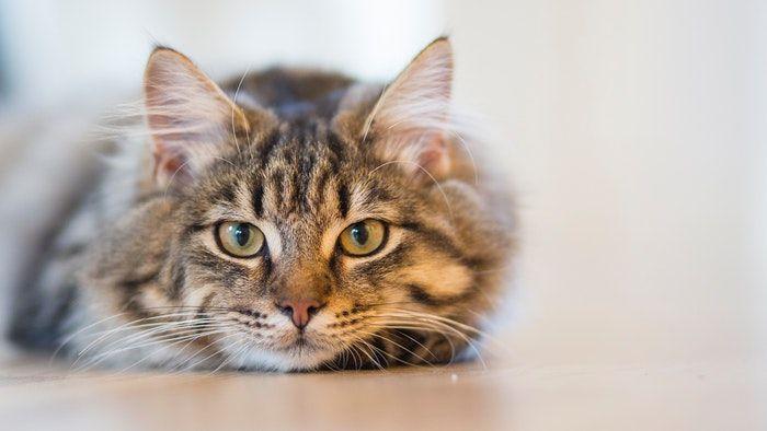 doencas de gatos conheca as mais comuns e saiba como preveni las 9