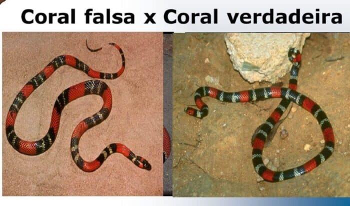 Falsa-coral e coral verdadeira: quais as diferenças entre essas cobras?