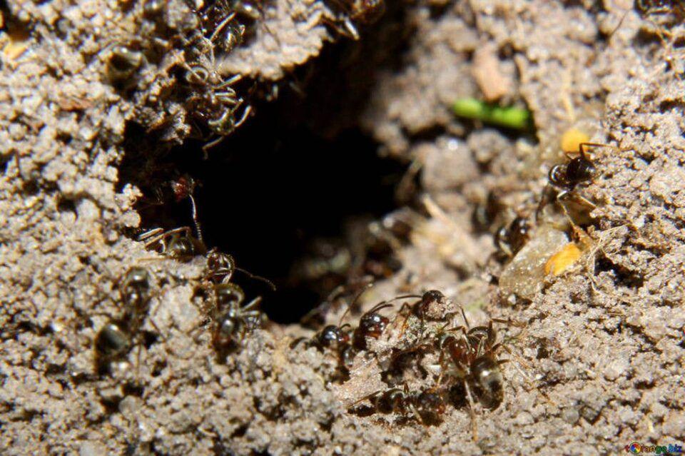Formigueiro, o que é? Como é a vida das formigas nas colônias