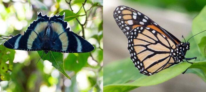 Mariposas: características e hábitos que as diferenciam das borboletas