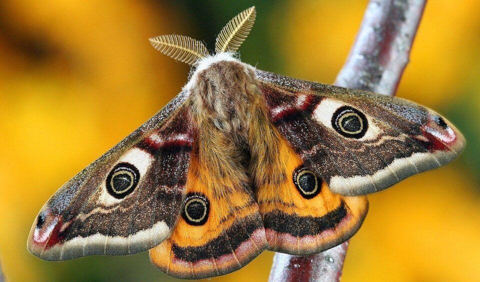 Mariposas – Características e hábitos que as diferenciam das borboletas