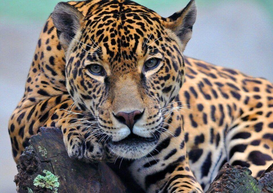 Onça-pintada – Tudo sobre o felino mais poderoso das Américas