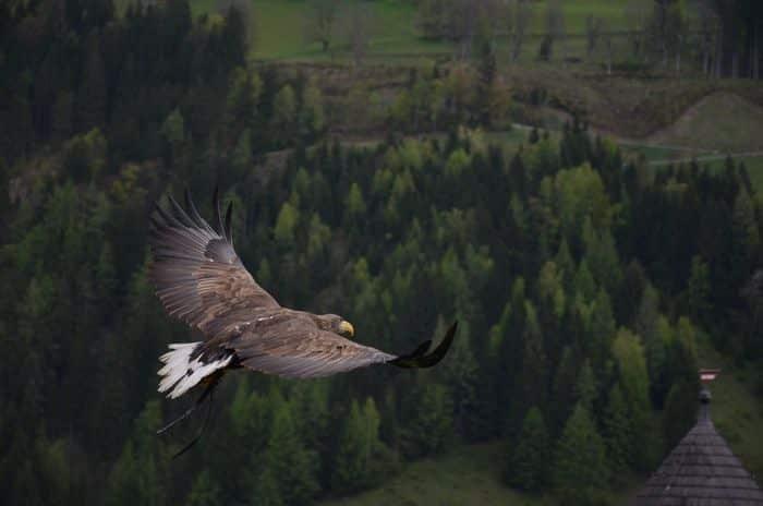 Significado de Águia: simbolismos culturais e espirituais associados a ave
